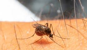 Aedes aegypti Chiuda su una zanzara che succhia il sangue umano immagine stock libera da diritti