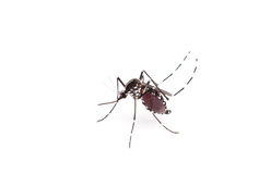 Aedes aegypti Chiuda su una zanzara che succhia il sangue umano, Vettore-BO fotografia stock