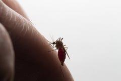 Aedes Aegypti Ciérrese encima de una sangre humana que chupa del mosquito Fotografía de archivo libre de regalías