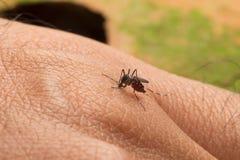 Aedes Aegypti Ciérrese encima de una sangre humana que chupa del mosquito Imagenes de archivo