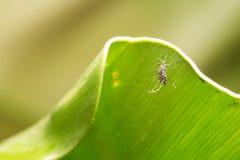 Aedes Aegypti Ciérrese encima de una sangre humana que chupa del mosquito Foto de archivo libre de regalías