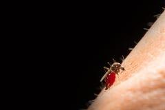 Aedes Aegypti Ciérrese encima de una sangre humana que chupa del mosquito, Vector-BO Imágenes de archivo libres de regalías