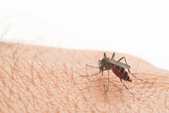 Aedes aegypti. Close up a Mosquito sucking human blood. Stock Photography
