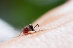 Aedes aegypti Moskito Stockfoto