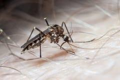 Aedes aegypti Moskito auf menschlicher Haut Lizenzfreie Stockfotos