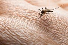 Aedes Aegypti Schließen Sie herauf ein saugendes menschliches Blut des Moskitos Stockbilder