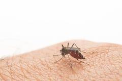 Aedes Aegypti Schließen Sie herauf ein saugendes menschliches Blut des Moskitos Lizenzfreie Stockfotografie