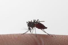Aedes Aegypti Schließen Sie herauf ein saugendes menschliches Blut des Moskitos Stockfoto