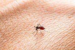 Aedes Aegypti Schließen Sie herauf ein saugendes menschliches Blut des Moskitos Lizenzfreie Stockfotos