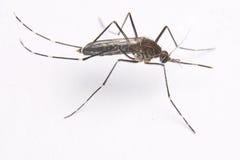 Aedes elsiae Moskito Lizenzfreie Stockfotos