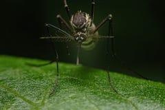 Aedes komary które szukają dla jedzenia w zmroku w lesie zdjęcie royalty free