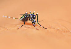 Aedes mosquito Stock Photos