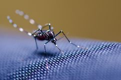 Aedes mosquito Royalty Free Stock Image
