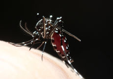 Aedes Mosquito Sucking Blood Royalty Free Stock Image