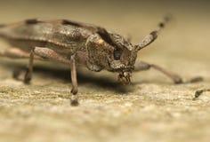 Aedilis de Acanthocinus Imagen de archivo