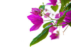 Aegean Bougainvillea Royalty Free Stock Photo