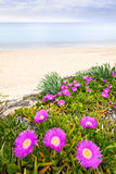 Aegean sea coast in Greece. Sea fig flowers blooming on Aegean coast in Chalkidiki, Greece Royalty Free Stock Image