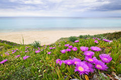 Aegean sea coast in Greece. Coast of Aegean sea with blooming ice plants in Chalkidiki, Greece Stock Photos