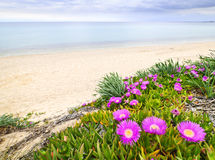 Aegean sea coast in Greece. Sea fig or ice plant flowers blooming on Aegean coast in Chalkidiki, Greece Royalty Free Stock Images