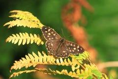 aegeria蝴蝶pararge有斑点的木头 免版税库存照片