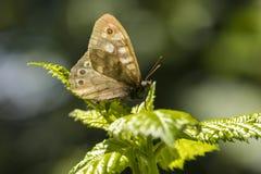 Aegeria de madera manchado de Pararge de la mariposa Fotos de archivo libres de regalías