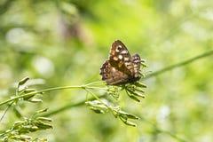Aegeria de madera manchado de Pararge de la mariposa Imagen de archivo