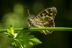 Aegeria de madera manchado de Pararge de la mariposa Fotografía de archivo libre de regalías