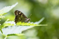 Aegeria de madera manchado de Pararge de la mariposa Foto de archivo libre de regalías