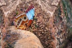 Aegeria de Pararge Mariposa hermosa con las alas azules y marrones Foto de archivo