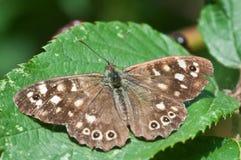 Aegeria de Pararge o mariposa de madera manchada que toma el sol en verano inglés Fotos de archivo