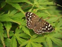 Aegeria di legno macchiato di Pararge della farfalla Immagine Stock Libera da Diritti