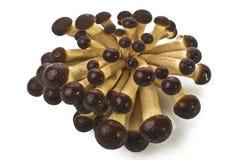 aegerita agrocybe pieczarki Zdjęcia Royalty Free