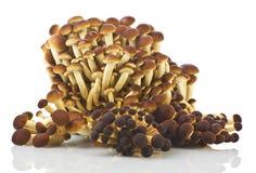 Aegerita de Agrocybe de las setas Foto de archivo libre de regalías