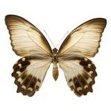 aegeus del papilio del swallowtail de la huerta Fotografía de archivo libre de regalías