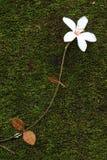 Aegiceras, tote Blätter Stockfotos
