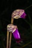 Aeginetia L indica , OROBANCHACEAE Imagenes de archivo
