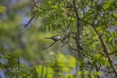 aegithalos caudatus长尾的山雀 库存照片