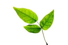 (Aegle marmelos (L.) Corrêa), leaf form and texture Royalty Free Stock Photo
