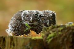 Aegolius funereus gnieździć się & x28; - Borealna sowa -młody birds& x29; fotografia royalty free