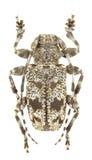 Aegomorphus clavipes Lizenzfreie Stockbilder
