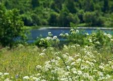 Aegopodium το μπλε πεδίο ανθίζει το καλοκαίρι ουρανού λιβαδιών χλόης κάτω Στοκ φωτογραφία με δικαίωμα ελεύθερης χρήσης