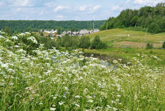 Aegopodium το μπλε πεδίο ανθίζει το καλοκαίρι ουρανού λιβαδιών χλόης κάτω Στοκ Εικόνες