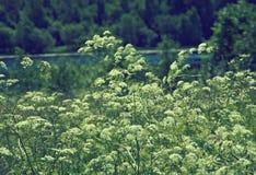 Aegopodium το μπλε πεδίο ανθίζει το καλοκαίρι ουρανού λιβαδιών χλόης κάτω Στοκ Εικόνα