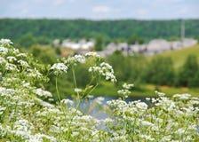 Aegopodium Feld des Grases und der Blumen unter blauem Himmel Lizenzfreies Stockfoto