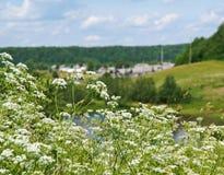 Aegopodium Feld des Grases und der Blumen unter blauem Himmel Stockfotografie
