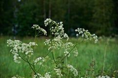 Aegopodium niebieski pole kwiaty trawy nieba łąkowego lato Obrazy Stock