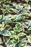 Aegopodium podagraria Grünblätter mit grün-weißen Rändern Lizenzfreie Stockfotos
