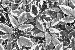 Aegopodium podagraria Grünblätter mit grün-weißen Rändern Lizenzfreie Stockbilder