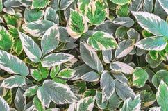 Aegopodium podagraria Grünblätter mit grün-weißen Rändern Stockbilder