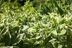 Aegopodium-podagraria variegata Natürlicher Hintergrund Stockfotos